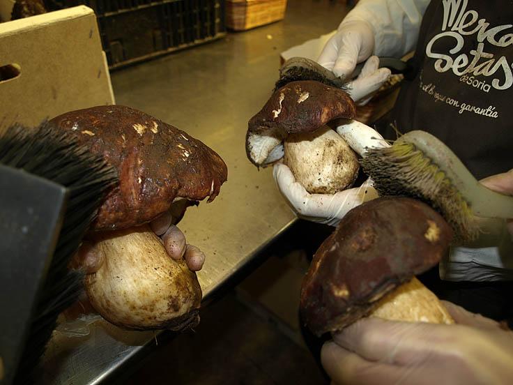 Limpieza de hongos para su venta al público