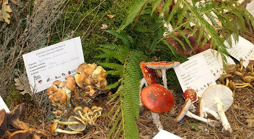 Algunos de los ejemplares expuestos en la exposición micológica